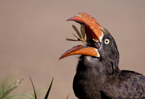 CROWNED HORNBILLTockus alboterminatus©John Thacks The Crowned Hornbill is an African hornbill.  It is a medium-sized bird, with a length between 50 and 54 cm, and it  is characterized by its white belly and black back and wings. The tips  of the long tail feathers are white. The eyes are yellow; the beak is  red and presents a stocky casque on the upper mandible. In females, the  casque is smaller. The Crowned Hornbill is a common resident of the coastal and riverine  forests of southern (only the eastern coast) to northeastern Africa. It  forages mainly in trees, where it feeds in insects (often caught in flight), small rodents  and reptiles, seeds and fruits. This hornbill species can be seen in  flocks, usually in the dry season. Four to five white eggs are incubated  for 25 to 30 days; the juveniles remain with both parents for about 8  weeks Source: http://en.wikipedia.org/wiki/Crowned_Hornbill Other posts: Great Hornbill Red-Knobbed Hornbill Eye Detail of a Ground Hornbill