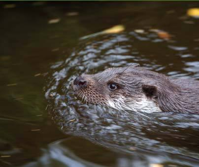"Time for some good news: Two otters have been seen in Kent, signalling their return to every English county following efforts to save them from extinction. Kent was the only county found without otters in a survey of rivers across England carried out by the Environment Agency (EA) last year. Since then at least two otters have been spotted, with holts on the Medway and Eden rivers, the EA said. A survey on the Ribble in Lancashire showed a 44% increase since 2008. Otter numbers fell as a result of toxic pesticides, which damaged their health and reduced their supplies of fish. They had almost disappeared from England by the 1970s. 'Great success' Improvements in water quality, along with legal protection, has helped their recovery.  ""The fact that otters are now returning to Kent is the final piece in the jigsaw for otter recovery in England""  Alastair DriverEnvironment Agency ""The recovery of otters from near-extinction shows how far we've come in controlling pollution and improving water quality,"" said the EA's national conservation manager, Alastair Driver. ""Rivers in England are the healthiest for over 20 years and otters, salmon and other wildlife are returning to many rivers for the first time since the Industrial Revolution. ""The fact that otters are now returning to Kent is the final piece in the jigsaw for otter recovery in England and is a symbol of great success for everybody involved in otter conservation."" The otter survey of England, which examined 3,327 river sites between July 2009 and March 2010, showed the number of places with evidence of otter life had increased tenfold in 30 years. But recovery was slowest in the South East, with conservationists predicting otters may not be resident in Kent for another 10 years. Their return was also a ""fantastic reward"" for efforts by the agency to improve water quality, said Mr Driver."