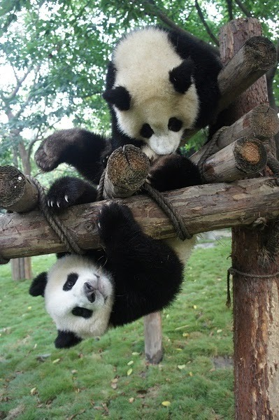 fuckyeahgiantpanda:  Jiao Qing and Er Xi at the Chengdu Giant Panda Base on August 20, 2011. © Yumikaji15.