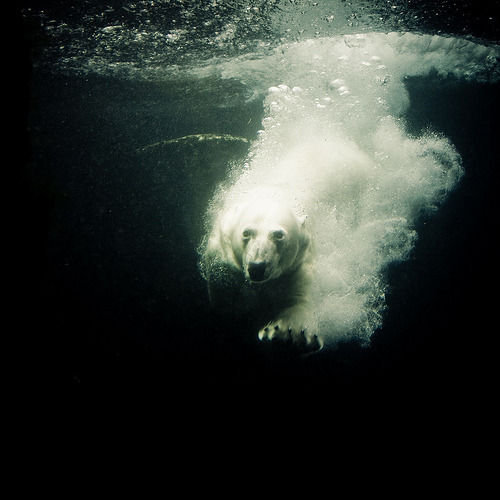 15steep:  diving-ice-bear (by ralf_k)