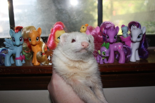 "myuubey:  rabbithugs:  glowkitten:  Stella ""poses"" with the ponies!  PONIES AND A FERRET  could this be any more adorable no it couldnt"