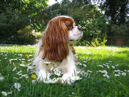 pupularculture:  Dougal and the Daisies by Alan By The Sea on Flickr.
