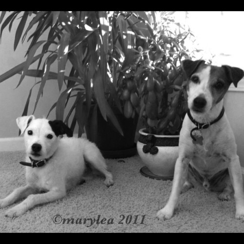 The dogs. August 21, 2011. #dog #dogs #terriers #ParsonRussellTerrier #JRT #B&W #houseplants #august #summer #maryleafaves #mlm (Taken with instagram)