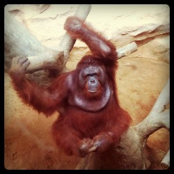 The King! #orangutan (Taken with instagram)
