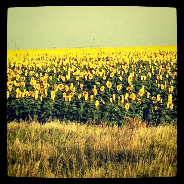 More sunflowers.  (Taken with instagram)