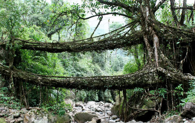 the root bridges of Cherrapunji