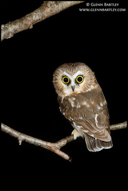 Northern Saw-whet Owl (Aegolius acadicus) by Glenn Bartley - www.glennbartley.com on Flickr.
