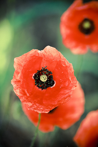 Poppies always remind me of my grandmother's garden. cordura:  I Love Poppies! (by CasCriS)