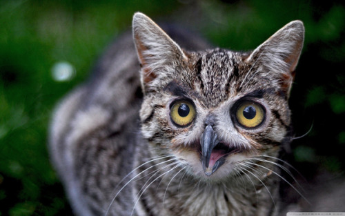 ryanhatesthis:  Cats with owl faces  Ah, now I see the link. Too bad it only links to the JPG and not the WHOLE COLLECTION WITH SHARING BUTTONS.