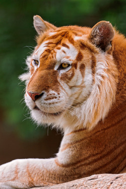 justbliss24:  Profile of the golden tiger (by Tambako the Jaguar)