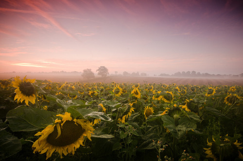 Breath taking Sunflowers by uppy61 on Flickr.