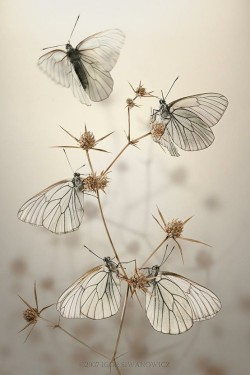 Black veined White by Igor Siwanowicz