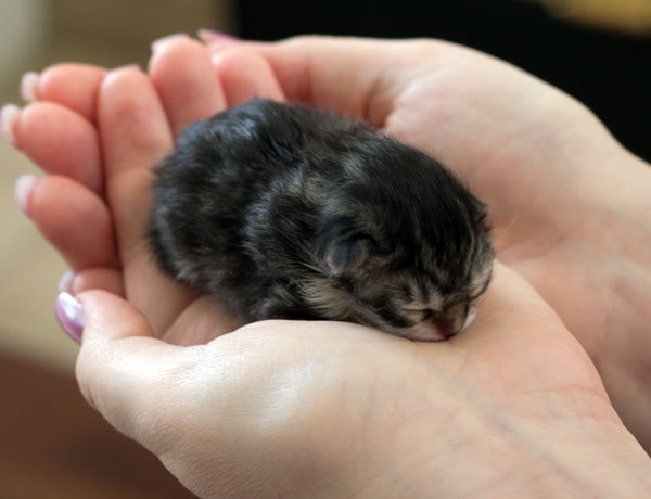 Tiny Bitty Ball of Cute! Photo/caption via Love Meow - for Ultimate Cat Lovers
