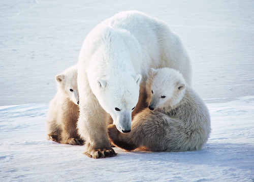 theanimalblog:  Mom & Cubs On Hudson Bay (by vmselde)  Hold the fuck on. There's polar bears in North America? I'm not the best with geometry geography, I did used to think Arkansas was close to California, but I definitely thought polar bears resided in the poles of the world. Like North Pole, South Pole, Polar bears, that just makes logical sense. But Hudson Bay? That's like just the top of America. These white snow dragons are that close?! Fuck that shit! I'll cede, I know nothing about Canada aside from their accents, but it just doesn't surprise me that they have polar bears up there. Just seems like some Canadian-ass form of border defense. They do still patrol the streets on horses up there, it's simply not surprising that they probably have a bear army, or bear navy, or bearforce (see what I did there?). Fucking archaic Canadians locking their borders down like professionals with ancient technology. Well, I for one am proud that people can freely flow through our borders devoid of polar bears. It's just more humane.