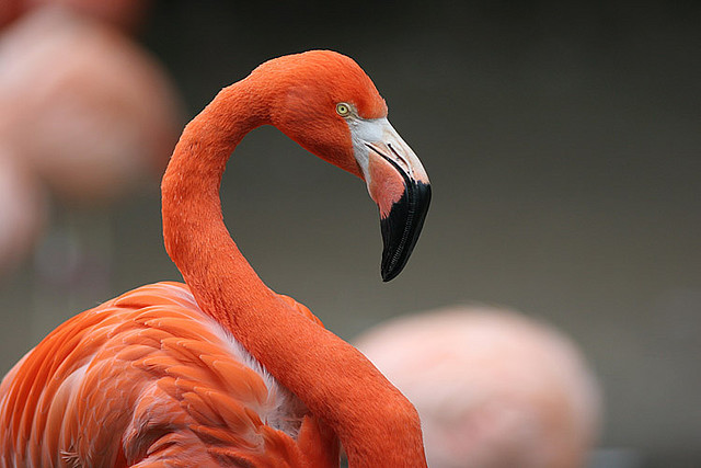 Flamingo by josiahgordon on Flickr.