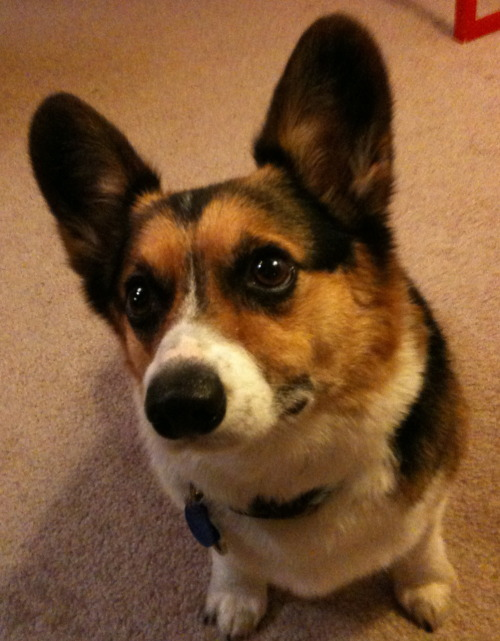corgiaddict:  Spence wants a cookie! please give him one