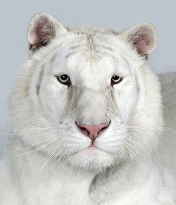 SNOW WHITE BENGAL TIGER