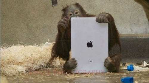 The typical Apple user. LOL Checkout these links for more pictures. These orangutans play with iPads Orangutan Outreach