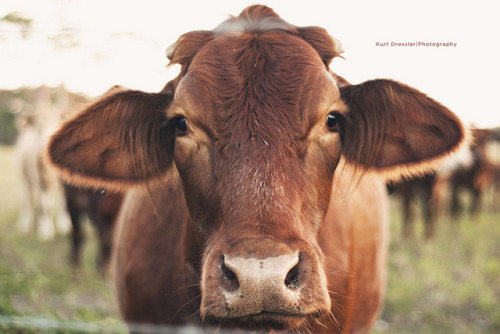 so-young:  The Cow (Explored!) by Kurt Dressler Photography on Flickr.
