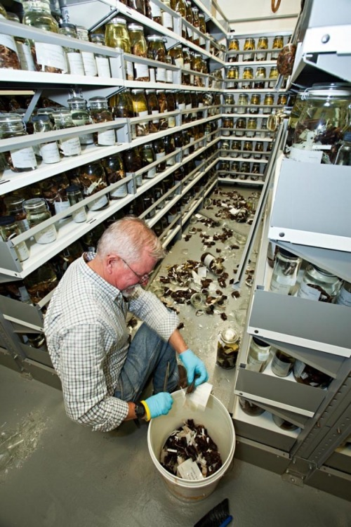 """Museum specialist Charley Potter sorting fluid preserved specimens of bats from research collections at the Smithonian's Museum of Natural History from shattered glass jars toppled during the Aug. 23, 2011 Virginia earthquake."" Hopefully there was minimal damage to the specimens."