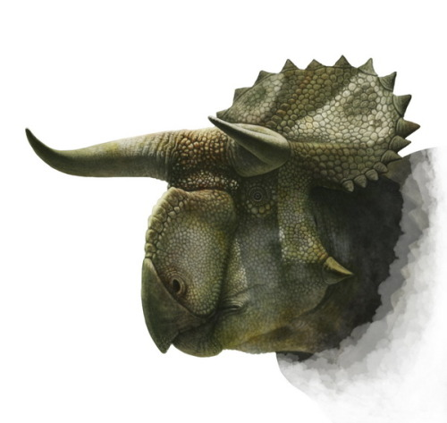 kevindrakewriter:  inlovewithgeosciences:  Nasutuceratops titusi (if you're interested, here's a thesis about this dinosaur =D) Geological time: Late Cretaceous, 75,9-75,2 Ma Found in Utah, USA  Cool!