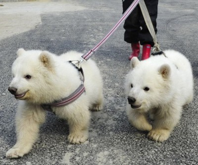 Wuh? Polar bear pets!? Cool. (via pinterest)
