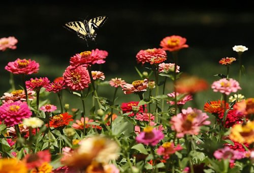 tumblr lqgljwndMR1qzou5ko1 500 A butterfly flits among the zinnias in a garden in Green,...
