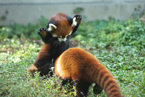 glassdreams:  It's so fluffy I'm gonna die!   red panda, other wise known as the fire fox. my favorite animal.