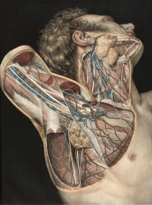 Nicolas Henri Jacob - Illustration for Traité complet de l'anatomie de l'homme comprenant la médecine opératoire (1831-1854) by Jean-Baptiste Marc Bourgery Dissection of the neck and axilla, deep dissection. Neck dissected to  show neck muscles, jugular veins, parotid gland and submandibular gland.  Pectoralis muscles divided and removed to shown axillary artery,  brachiocephalic vein, basilar vein, axillary lymph nodes and brachial  plexus. Antero-lateral view.