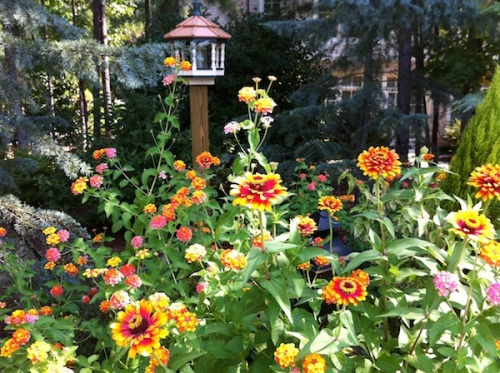 From one of my favorite client's Late Summer Garden with four-foot tall Zinnias and Lantana 'Miss Huff.' This flower garden attracts butterflies and hummingbirds and has been blooming nonstop since June - and it's deer proof.