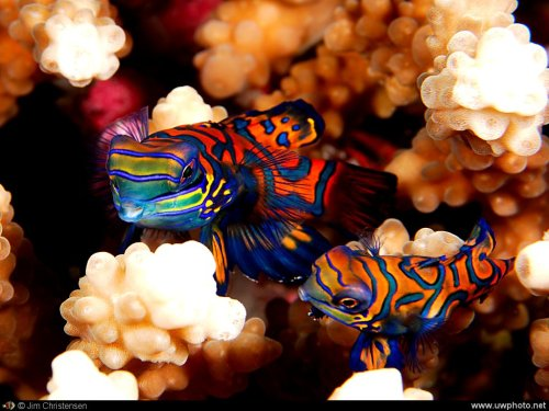 "Pair of MANDARINFISH  or MANDARIN DRAGONETSynchiropus splendidus© Jim Christensen The Mandarinfish or Mandarin dragonet, is a small, brightly-colored member of the dragonet family. The common name of the Mandarinfish comes from its extremely vivid colouration, evoking the robes of an Imperial Chinese mandarin.  The mandarinfish is native to the Pacific, ranging approximately from the Ryukyu Islands south to Australia. To date, S. picturatus is one of only two  animal species known to  have blue colouring because of cellular  pigment, the other is the closely related LSD or Psychedelic Dragonet.  The name ""cyanophore"" was proposed for the blue chromatophores, or  pigment-containing and light-reflecting cells. In all other known cases,  the colour blue comes from thin-film interference from piles of flat,  thin and reflecting purine crystals. Fact Source: http://en.wikipedia.org/wiki/Mandarinfish  Other posts:  Titan Triggerfish Siamese Fighting Fish or Betta Desjardins Sailfin Tang"