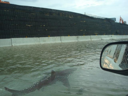 weapons-andafros:  thedame:  bethanyhamm:  A shark swimming the streets of Puerto Rico after Irene. In other new, the world is ending.    @ESPN_Colin    hahaha brilliant!  WHY DO I FIND THIS SO BROOTAL?!