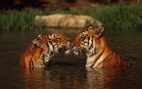 scipsy:  We have lost 97% of our wild tigers this century. (via WWF)