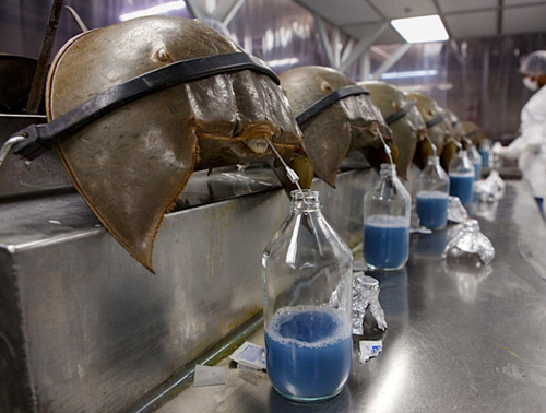 batcreek:  Harvesting the blood of Horseshoe Crabs  man i miss Pepsi Blue, i guess it was too difficult to manufacture…