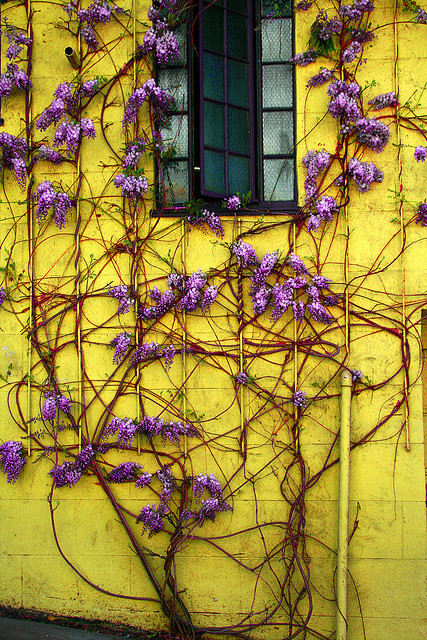 iheartfabulousthings:  so much love  Wisteria and golden yellow. Sublime.