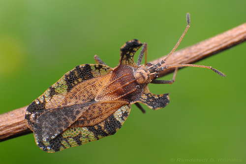 animalworld:  LACE BUGTingidae: Hemiptera©Rundstedt B. Rovillos Tingidae is a family of very small [2-10 mm] insects in the order Hemiptera that are commonly referred to as lace bugs. This group is distributed worldwide and consists of approximately 2,000 species. This one was photographed in Quezon City, National Capital Region, Philippines. They are called lace bugs because the pronotum and forewings of the adult have a delicate and intricate network of divided areas that resemble lace. Their body appearance is flattened dorso-ventrally and they can be broadly oval or slender. Often the head is concealed under the hood-like pronotum. Lace bugs are usually host specific and can be very destructive to plants. Most feed on the undersides of leaves by piercing the epidermis and sucking the sap. The then empty cells give the leaves a bronzed or silvery appearance. Each individual usually completes its entire life cycle on the same plant, if not the same part of the plant. Source: http://en.wikipedia.org/wiki/Tingidae Other posts: Turquoise Cicada Mallotus Shield Bugs Broadheaded Sharpshooter