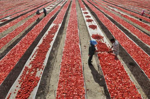 mothernaturenetwork:  Sun-dried tomatoes: Workers set out fresh tomatoes to dry in the sun on Aug. 22 at a farm in Bayingolin, China. Depending on the size, a tomato can lose between 88-93 percent of its water weight during the drying process.