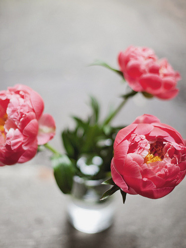 prettylittleflower:  first peonies of the season (by the cheshire smile)