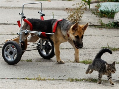 deformutilation:  Ciuchcia, a 4-month-old orphaned German shepherd, who shows  resilience to an early life of abuse as he chases a kitten with the help  of a specially made wheelchair at a shelter for homeless animals in  Poland.  Orthopaedic devices have always fascinated me…hmmm…think I'll find some of those awesome Victorian orthopedic thingies that I never bothered to actually post. Nutritional deficiencies and not noticing bone problems early on led to some pretty serious deformities…and some pretty cool-looking inventions that actually worked a lot of the time!