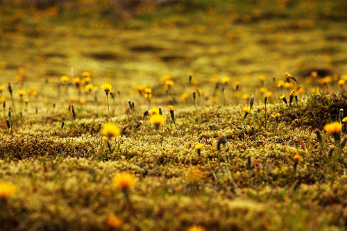 Beautiful closeup shot of a moss carpet in an Icelandic summer.
