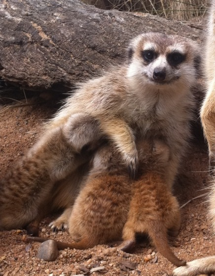 (via Masked Meerkat Kits Step Out Into The Sun - ZooBorns)