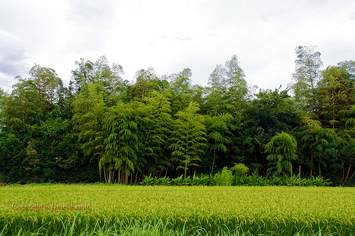 This small area of bamboo and trees sits in the midle of the rice fields and is left untouched. People don't venture in there because it is believed to be haunted!   Flickr: http://flic.kr/p/agGHyN