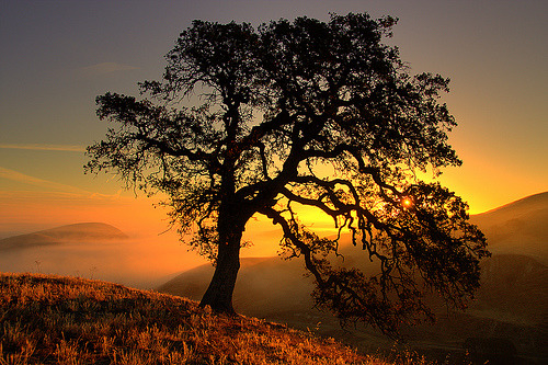7000stars:  oak silhouette (by Marc Crumpler (Ilikethenight))