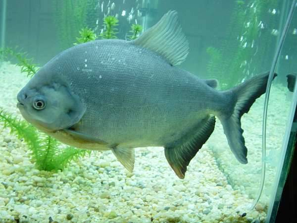 "eximago:  Pacu are a group of fish in several genera native to South America. Related to the piranha, this fish is an omnivore. As an adaptation to it's diet, which often includes fallen fruit, they've developed teeth that are remarkably human-like in what can be considered an almost chilling case of convergent evolution. Nicknamed the ""vegetarian piranha"" by aquarists, they are kept as exotic pets in the US. As a result, pacu have been discovered in the wilds of many American states, causing quite a stir every time due to their human chompers. In their homes, they are coming under increasing threat of overfishing, as their large size and reportedly good taste (allegedly comparable to striped bass and tilapia, but better than catfish) fetch good prices in fish markets. There is yet hope, however, as the farming of these fish is gaining increased support due to the consistent supply of food it promises, and the happy coincidence that they thrive well in farms."