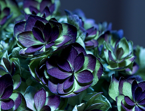 purplelovesyellow:  Purple & Blue (by ~swish~)