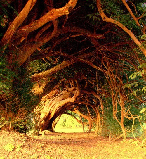 1000 year old yew tree tunnel   Why do people insist on removing the source?