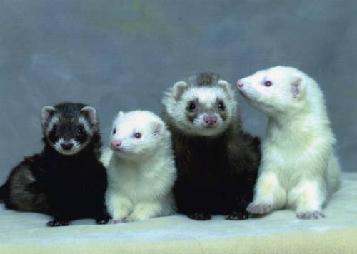 ohscience:  a group of ferrets is called a business