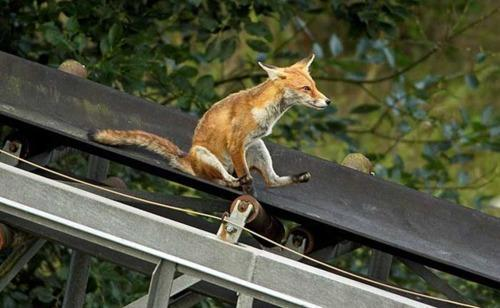 "handoverheart:    Fantastic Mr Fox of the Day: A four-month-old fox slides down a conveyor belt at an abandoned gravel quarry near the rural German hamlet of Bursfelde. Brit Duncan Usher, who snapped the photo, says he saw two kits using the conveyor belt as a makeshift slide. ""One ran back to the top of the conveyor belt and then started to walk back down it, stopped and sat down,"" Usher is quoted as saying. ""After a few seconds it started to slide down the conveyor belt using its front paws to drag it forwards… I have not seen this type of behaviour amongst free living wild animals and I was really surprised and pleased to witness and capture this unusual event."" [Source]"