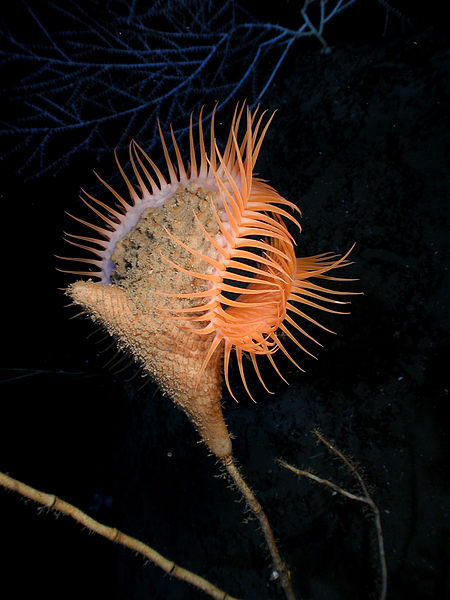 "My favorite creepiest sea anemone EVER - works like a venue fly trap (hence the name) - BTW, in case its confusing - its big ""foot"" is attached to the thin stick…(also check out the Electric Flaming Scallop) animalworld:  VENUS FLYTRAP SEA ANEMONE*Actinoscyphia aurelia©NOAA Photo Library The Venus flytrap sea anemone is a large sea anemone resembling a Venus Flytrap. Like it's plant namesake, it is believed to close its tentacles to capture prey or to protect itself. It is found in and around the Gulf of Mexico. Flytrap anemones grow up to 30 cm (one foot) across attaching themselves to exposed rock  outcrops on seamounts and deep sea ridges, where currents are relatively  strong. Some scientists have suggested that flytrap anemones  eat bits of debris carried on the ocean currents, their body shape  suggests that they feed on small animals, such as shrimp, that happen to  swim by. Flytrap anemones were recently discovered to release bioluminescent slime when disturbed. Source: http://www.mbari.org/news/feature-image/flytrap.htmlhttp://en.wikipedia.org/wiki/Venus_flytrap_sea_anemone Other posts: Venus Flytrap in action Electric Flaming Scallop TheTraveling Sea Anemone Anemone and Pink Anemonefish *Looks like the carniverous plant from the movie Little Shop of Horrors"