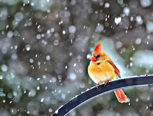 theanimalblog:  A Snowbird (by Jeff Clow)